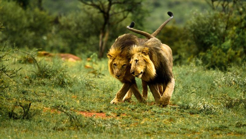 Two male lions playing with each other