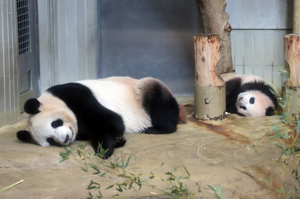 Female giant panda cub Xiang Xiang (R) and her mother Shin Shin (L) lay on the ground during a press preview at Ueno Zoo in Tokyo on December 18, 2017. The baby panda born six months ago in Japan made its debut before the cameras on December 18, a day before a doting public gets an eagerly-awaited glimpse of the cuddly animal. / AFP PHOTO / POOL / Yoshikazu TSUNO