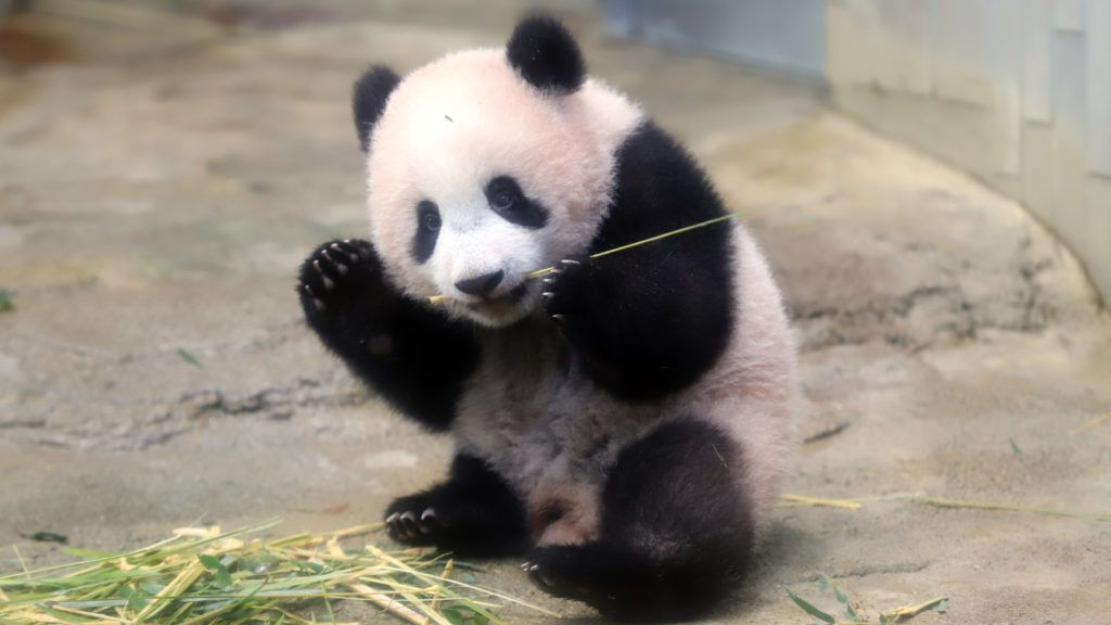 Baby panda Xiang Xiang plays at its enclosure during a press preview at Ueno Zoo in Tokyo on December 18, 2017. The baby panda born six months ago in Japan made its debut before the cameras on December 18, a day before a doting public gets an eagerly-awaited glimpse of the cuddly animal. / AFP PHOTO / POOL / Yoshikazu TSUNO
