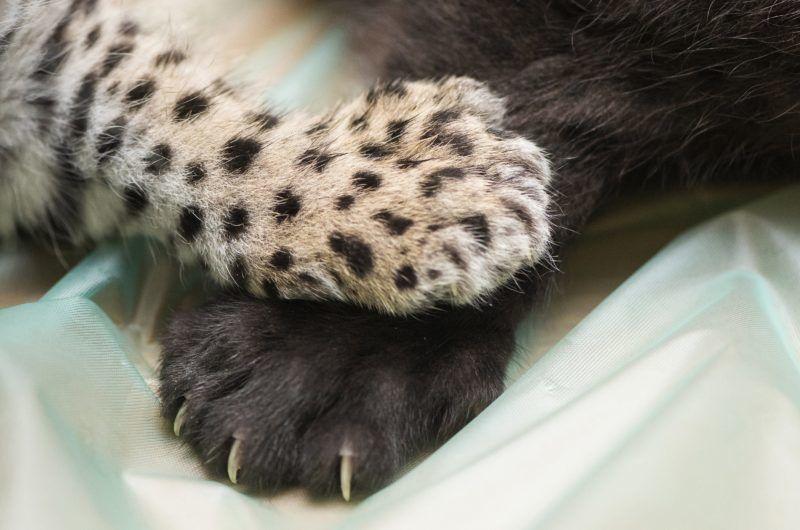 Nyíregyháza, 2017. december 25. Egyhónapos jaguárkölykök (Panthera onca) a Nyíregyházi Állatpark Andok-kalandok kifutójában 2017. december 25-én. Az ikrek egyike sárga, a másik fekete bundával jött világra. MTI Fotó: Balázs Attila
