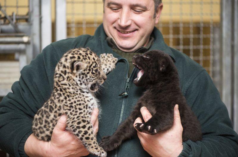Nyíregyháza, 2017. december 25. Egyhónapos jaguárkölykök (Panthera onca) Tóth Béla állatgondozó kezében a Nyíregyházi Állatpark Andok-kalandok kifutójában 2017. december 25-én. Az ikrek egyike sárga, a másik fekete bundával jött világra. MTI Fotó: Balázs Attila