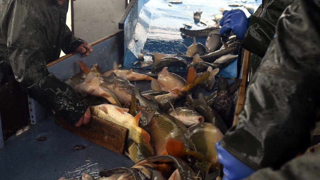 Tömörkény, 2017. november 29.  A halakat osztályozzák szakemberek az osztályozó asztalon a karácsony elõtti lehalászáskor a tömörkényi halastavaknál 2017. november 28-án. MTI Fotó: Máthé Zoltán