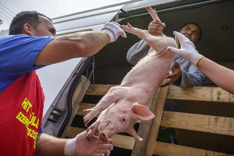 Székely, 2015. május 5.Kismalacot vesznek le egy teherautóról a Minden gyerek lakjon jól! alapítvány adományosztásán a Szabolcs-Szatmár-Bereg megyei Székely községben 2015. május 5-én. A településen 78 család kapott egy-egy 15 kilogrammos malacot, valamint negyven kiló tápot húszezer forint értékben. Idén valamivel több mint negyvenezer halmozottan hátrányos helyzetű család házi élelmiszer-előállításához ad segítséget az alapítvány.MTI Fotó: Czeglédi Zsolt