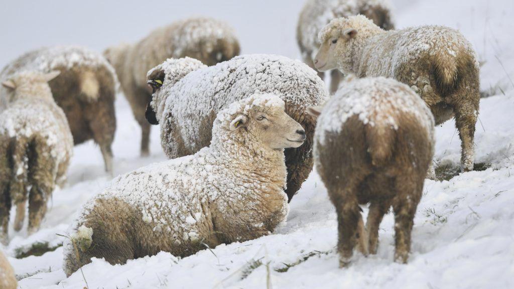 Kofeld, 2017. december 1. Bárányok egy hóval borított mezõn a dél-németországi Kofeld közelében 2017. december 1-jén. (MTI/AP/DPA/Felix Kästle)