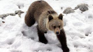 Zakopane, 2016. április 29. Egy fiatal barnamedve, miután felébredt téli álmából a dél-lengyelországi Myslenickie Turniénél, Zakopane közelében 2016. április 29-én. A Magas-Tátrában és a szlovákiai Tátrai Nemzeti Park területén élõ barnamedvék ezidõtájt válnak ismét aktívvá. (MTI/EPA/Grzegorz Momot)