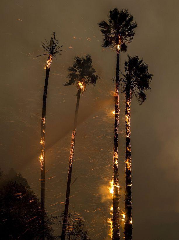 Ojai, 2017. december 6.Lángoló fák a kaliforniai Ojaiban pusztító erdőtűz idején, 2017. december 5-én. Eddig több mint 18 ezer hektár vált a lángok martalékává és 27 ezer embernek kellett elhagynia az otthonát. (MTI/EPA/John Cetrino)