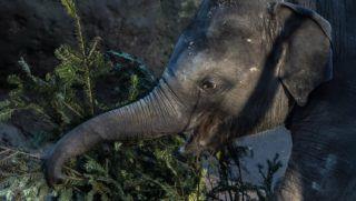 Prága, 2017. december 29. Fenyõfát majszol egy ázsiai elefántborjú a prágai állatkertben 2017. december 29-én. Az eladatlan maradt karácsonyfákat a kereskedõk hagyományosan az állatkertnek ajándékozzák, és azok ott az elefántok eledeléül szolgálnak. (MTI/EPA/Martin Divisek)