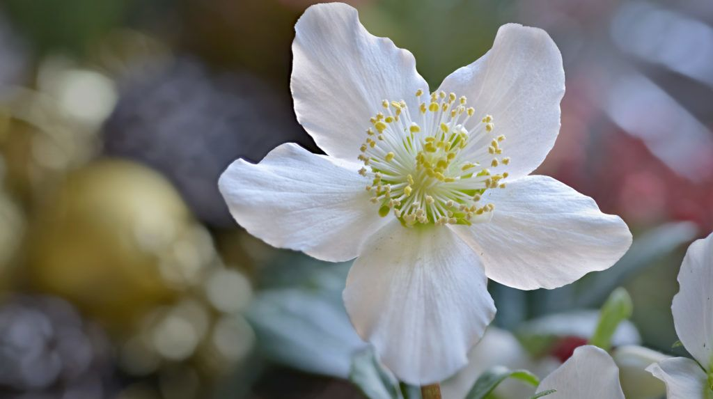 Christrosenblüte in Nahaufnahme