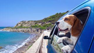 Cute dog travels in the blue car.
