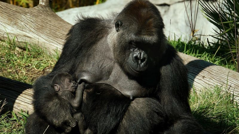 A gorilla named Jessica holds its two week old unnamed baby in its enclosure at the San Diego Zoo, California on January 13, 2015.  A naming competition is currently underway for Jessica's sixth baby gorilla. Gorillas' live in tropical or subtropical forests in Africa.            AFP PHOTO/MARK RALSTON / AFP PHOTO / MARK RALSTON
