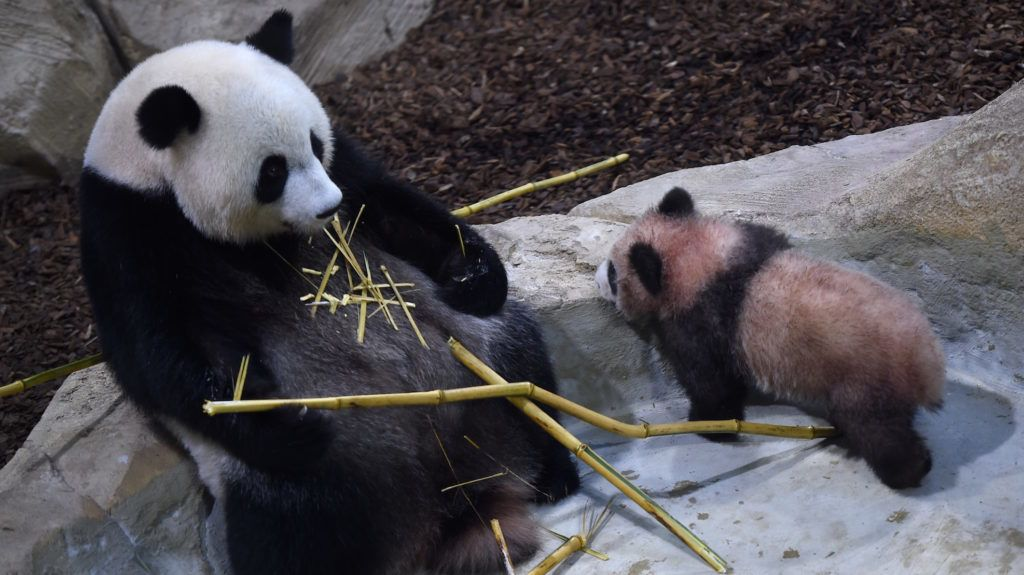 Panda cub Yuan Meng (R) and its mother Huan Huan, eating bamboo sticks, explore their new enclosure during the cub's first public appearance on January 13, 2018 at The Beauval Zoo in Saint-Aignan-sur-Cher, central France.  / AFP PHOTO / GUILLAUME SOUVANT