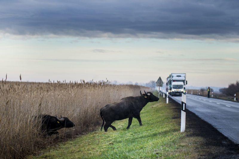 Fülöpszállás, 2018. január 4.Bivalyokat hajtanak át a szabadszállási Zab-széki téli szállásukról a fülöpszállási Kigyós-háti állattartó telepre a Kiskunsági Nemzeti Park területén, a lezárt 52-es főúton, Fülöpszállás közelében 2018. január 4-én. A mintegy 120 állatot a Kelemen-széki vizes területeken keresztül hajtották az állattartó telepre.MTI Fotó: Ujvári Sándor