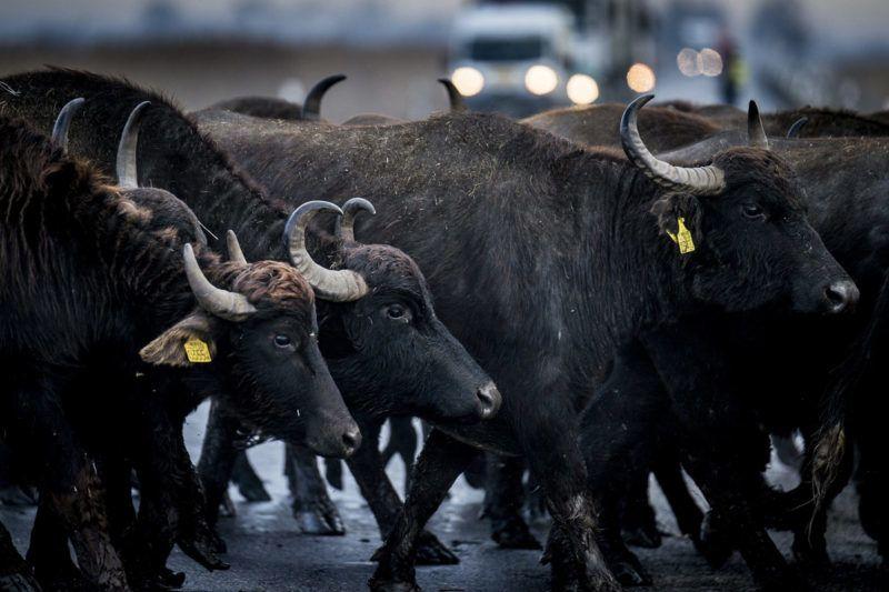 Fülöpszállás, 2018. január 4.Bivalycsordát hajtanak át a szabadszállási Zab-széki téli szállásukról a fülöpszállási Kígyós-háti állattartó telepre a Kiskunsági Nemzeti Park területén, a lezárt 52-es főúton, Fülöpszállás közelében 2018. január 4-én. A mintegy 120 állatot a Kelemen-széki vizes területeken keresztül hajtották az állattartó telepre.MTI Fotó: Ujvári Sándor
