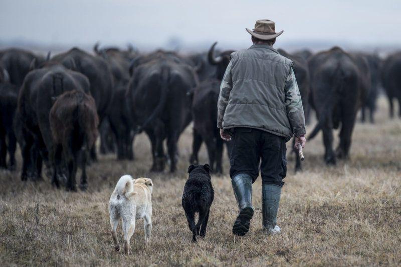 Fülöpszállás, 2018. január 4.Gulyás pásztorkutyákkal a bivalycsorda áthajtásán a Kiskunsági Nemzeti Park területén, Fülöpszállás közelében 2018. január 4-én. A mintegy 120 állatot a szabadszállási Zab-széki téli szállásukról a fülöpszállási Kígyós-háti állattartó telepre hajtották a Kelemen-széki vizes területeken keresztül.MTI Fotó: Ujvári Sándor