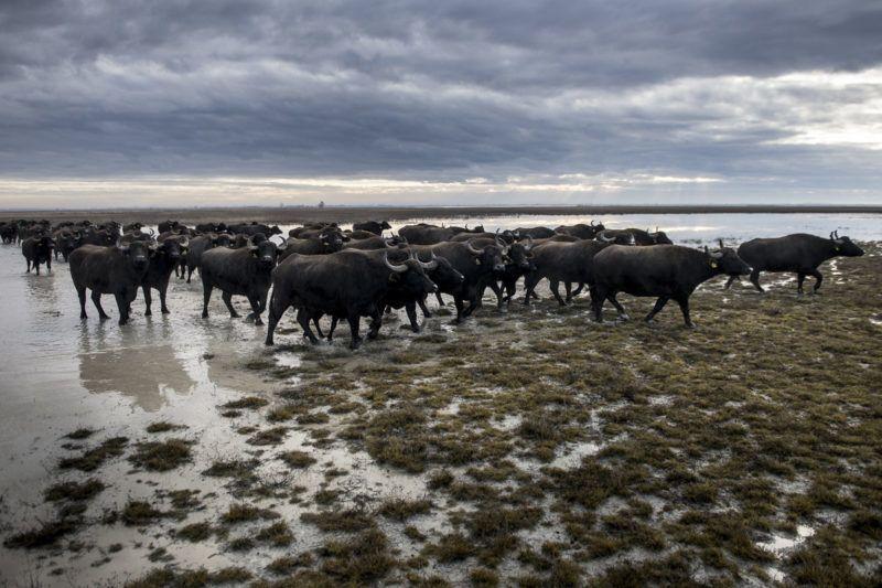 Fülöpszállás, 2018. január 4.Bivalycsordát hajtanak át a Kiskunsági Nemzeti Park területén, a Kelemen-széki vizes területeken, Fülöpszállás közelében 2018. január 4-én. A mintegy 120 állatot a szabadszállási Zab-széki téli szállásukról a fülöpszállási Kígyós-háti állattartó telepre hajtották.MTI Fotó: Ujvári Sándor