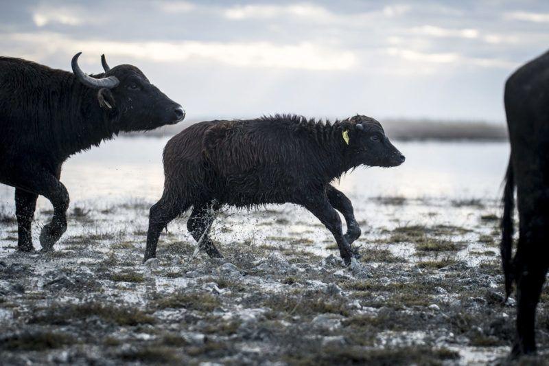 Fülöpszállás, 2018. január 4.Bivaly és bivarborjú a csorda áthajtásán a Kiskunsági Nemzeti Park területén, a Kelemen-széki vizes területeken, Fülöpszállás közelében 2018. január 4-én. A mintegy 120 állatot a szabadszállási Zab-széki téli szállásukról a fülöpszállási Kígyós-háti állattartó telepre hajtották.MTI Fotó: Ujvári Sándor
