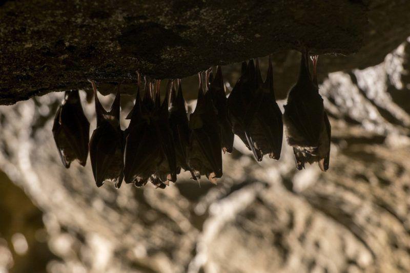 Abaliget, 2018. január 16. Téli álmot alvó nagy patkósdenevérek (Rhinolophus ferrumequinum) az Abaligeti-barlangban 2018. január 16-án. MTI Fotó: Sóki Tamás