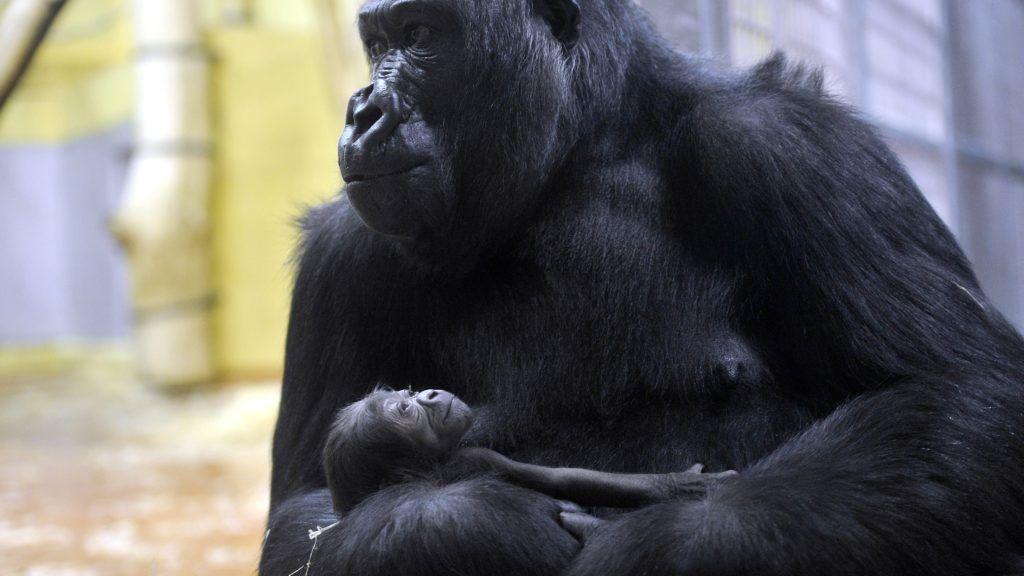 Budapest, 2017. december 24. Egynapos gorillakölyök anyjával, a tizenhét éves  N'Yaounda nevû nyugati síkvidéki gorillával (Gorilla gorilla gorilla) a Fõvárosi Állat- és Növénykert fõemlõs házában 2017. december 24-én. MTI Fotó: Kovács Attila
