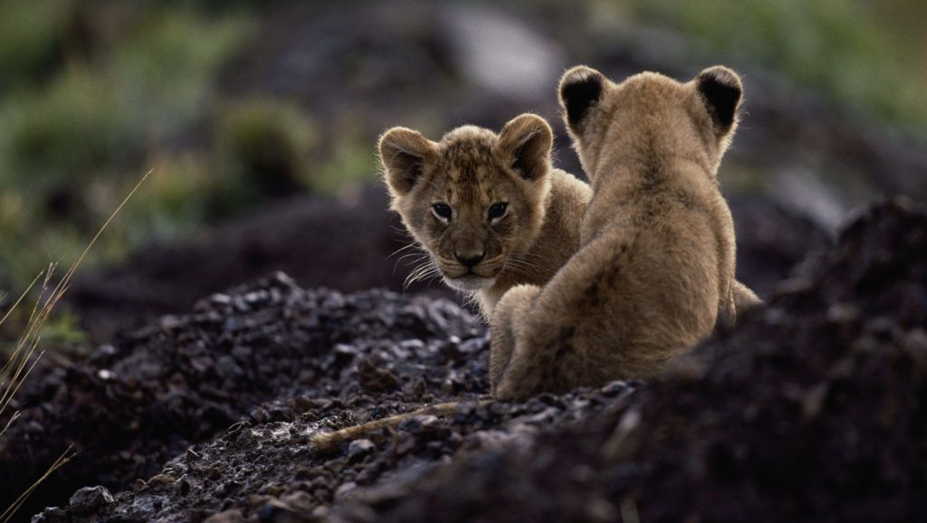 Lion cubs (Panthera leo) sitting , Masai Mara, Kenya