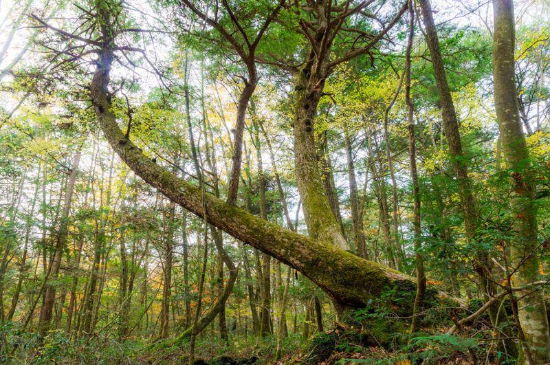 山梨・青木ヶ原樹海の曲がった木