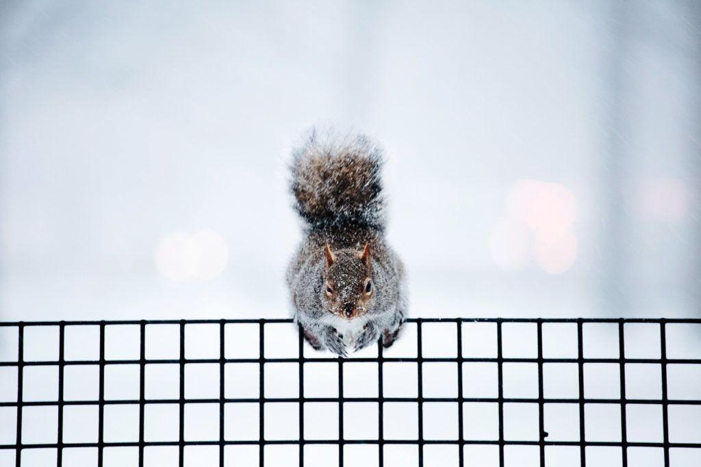 New York, 2018. január 4.Havas bundájú mókus egy kerítésen a New York-i Battery Parkban 2018. január 4-én. Az Egyesült Államokban utoljára egy évszázada tapasztalt hideghullám főként az ország középnyugati részét és a keleti partvidéket sújtja. A tartósan fagypont alatti hőmérséklet eddig tizenegy halálos áldozatot szedett Wisconsin, Észak-Dakota, Missouri és Texas szövetségi államokban. (MTI/EPA/Alba Vigaray)
