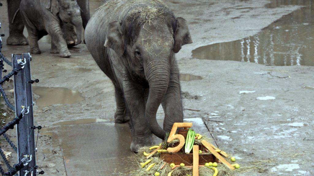Budapest, 2018. február 14. Asha, a nõstény elefántborjú az ötödik születésnapjára kapott finomságokkal a Fõvárosi Állat- és Növénykertben 2018. február 14-én. Balra öccse, a 2017 novemberében született Arun. MTI Fotó: Kovács Attila