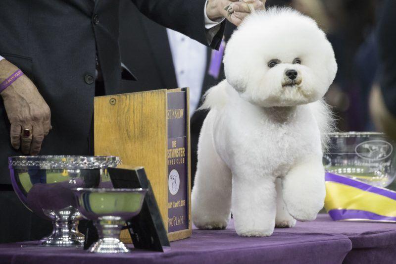 New York, 2018. február 14. Flynn, egy bichon frisé, miután elnyerte a 142. Westminster kutyakiállítás legszebb ebe címet a New York-i Madison Square Gardenben 2018. február 14-én. A Westminster az Egyesült Államok legnagyobb kutyaszépségversenye. (MTI/AP/Mary Altaffer)