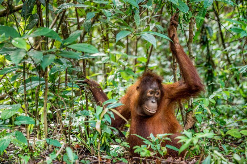 Juvenile of Central Bornean orangutan  ( Pongo pygmaeus wurmbii )  in natural habitat. Wild nature in Tropical  Rainforest of Borneo. Indonesia
