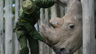 TO GO WITH AFP STORY BY NICOLAS DELAUNAY A caregiver calms Sudan, the last known male of the northern white rhinoceros subspecies, on December 5, 2016, at the Ol Pejeta conservancy in Laikipia County -- at the foot of Mount Kenya -- that is home to the planet's last-three northern white rhinoceros. As 2016 draws to an end, awareness of the devastation of poaching is greater than ever and countries have turned to high-tech warfare -- drones, night-goggles and automatic weapons -- to stop increasingly armed poachers. According to the International Union for Conservation of Nature (IUCN), at the African Black market, rhino horn sells for up to 60,000 USD (57,000 euros) per kilogram -- more than gold or cocaine -- and in the last eight years alone roughly a quarter of the world population has been killed in South Africa, home to 80 percent of the remaining animals. / AFP PHOTO / Tony KARUMBA