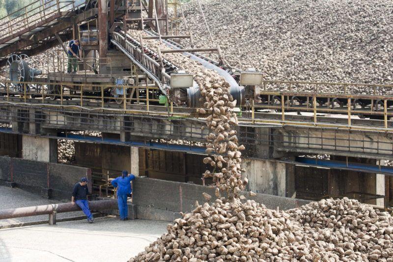 Kaposvár, 2011. szeptember 19. Cukorrépát szállít egy futószalag a Magyar Cukor Zrt. kaposvári cukorgyárának udvarán. Az osztrák Agrana csoport többségi tulajdonában lévõ cukoripari vállalat üzemében idén 105 ezer tonna cukrot állítanak elõ, 900 ezer tonna cukorrépából.  MTI Fotó: Varga György