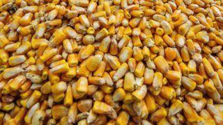 Debrecen, 2016. szeptember 21. Kukoricaszemek a betakarításon Debrecen közelében 2016. szeptember 21-én. Rekord-, illetve rekordközeli termés várható idén a kedvezõtlen idõjárás ellenére is. A kukorica betakarítása már megkezdõdött, a termést 1 millió 50 ezer hektárról kell betakarítani, a hektáronkénti átlagtermés 7,5 tonna lehet. Ha az idõjárás is kedvezõ lesz, 8 millió tonna takarítható be az idén. MTI Fotó: Czeglédi Zsolt