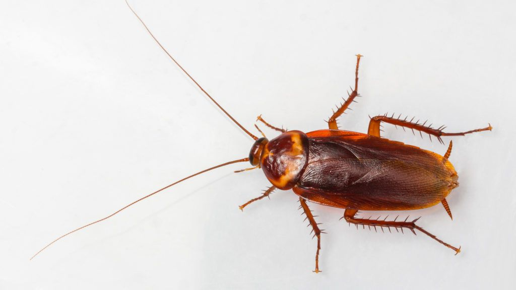 American cockroach - Periplaneta Americana isolated on white