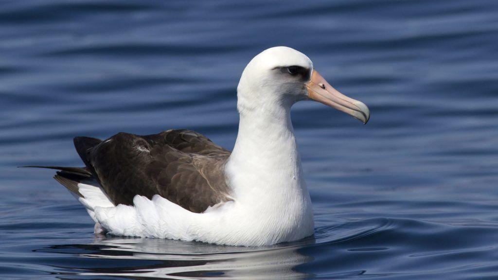 Laysan albatross sitting on the waves near the Commander Islands.