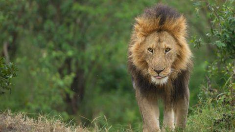 Male lion walking towards photographer, Kenya, Africa