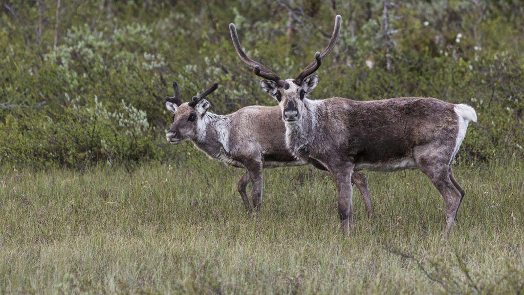 Two Reindeer, Rangifer tarandus standing in a forest in Stora sjöfallets national park and looking in to the camera, Stora sjöfallets national park, Gällivare, Swedish Lapland, Sweden