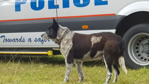 """This handout from Kelly Benston taken and received on April 21, 2018 shows Max, a seventeen-year-old blue heeler, in Warwick after he spent the night with a lost three-year-old in Australian bushland. Max, a deaf and partially blind dog that kept a lost three-year-old safe in Australian bushland overnight, was awarded police honours on April 21 after leading rescuers to the child. / AFP PHOTO / KELLY BENSTON / Kelly BENSTON / RESTRICTED TO EDITORIAL USE - MANDATORY CREDIT """"AFP PHOTO/KELLY BENSTON"""" - NO MARKETING NO ADVERTISING CAMPAIGNS - DISTRIBUTED AS A SERVICE TO CLIENTS - NO ARCHIVE"""