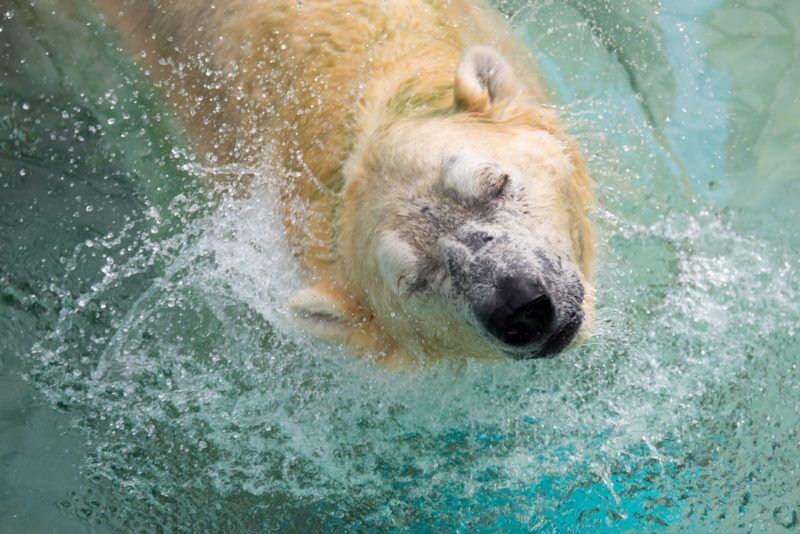 (FILES) This photograph taken on December 26, 2017 shows Inuka, a senior polar bear, shaking his head as he lounges in the pool in his enclosure at the Singapore Zoo. An elderly polar bear at Singapore zoo, one of the site's most beloved animals, may be put down after its health deteriorated markedly, the zoo operator said on April 12. / AFP PHOTO / TOH TING WEI
