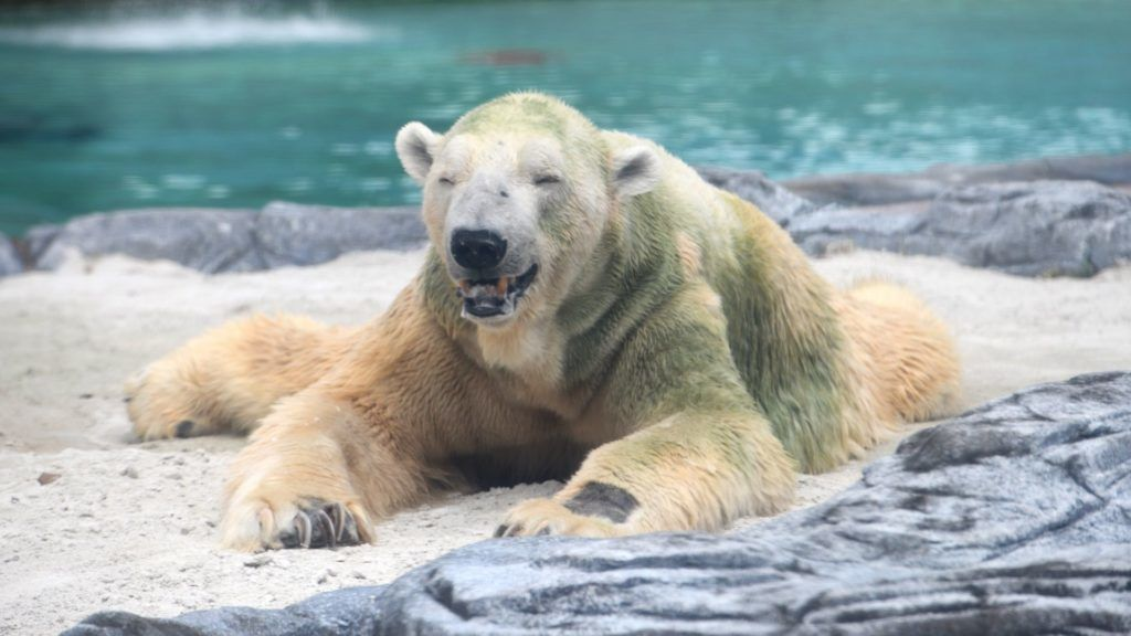 Inuka, a senior polar bear, sits on a sand bed inside its enclosure at the Singapore Zoo on April 13, 2018. An elderly polar bear at Singapore zoo, one of the site's most beloved animals, may be put down after its health deteriorated markedly, the zoo operator said on April 12. / AFP PHOTO / Roslan RAHMAN