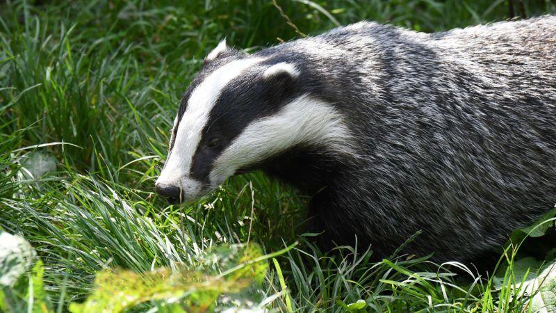 Badger | usage worldwide