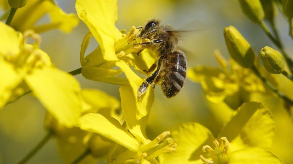 Nagyrécse, 2018. április 20. Házi méh egy virágzó repcén a Zala megyei Nagyrécse határában 2018. április 20-án. MTI Fotó: Varga György