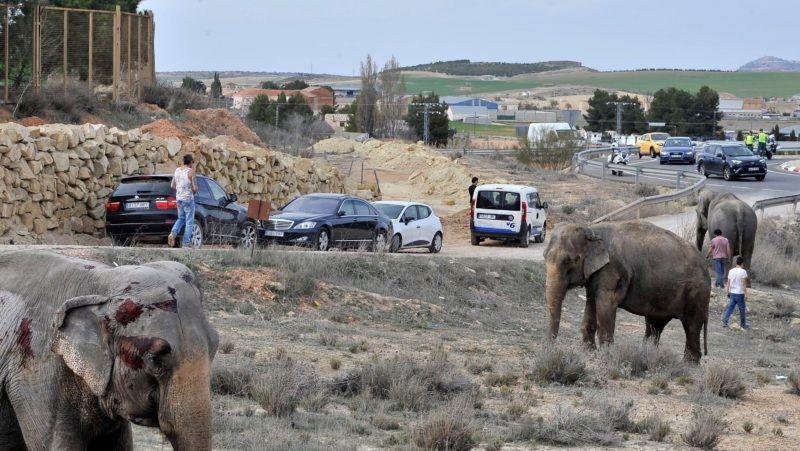 Pozo Canada, 2018. április 3. Elefántok állnak az A-30 jelzésû autópálya mellett, az Albacete spanyol tartománybeli Pozo Canada város közelében 2018. április 2-án, miután felborult az öt állatot szállító kamion. Az egyik elefánt elpusztult a balesetben, két másik megsérült. (MTI/EPA/Manu)