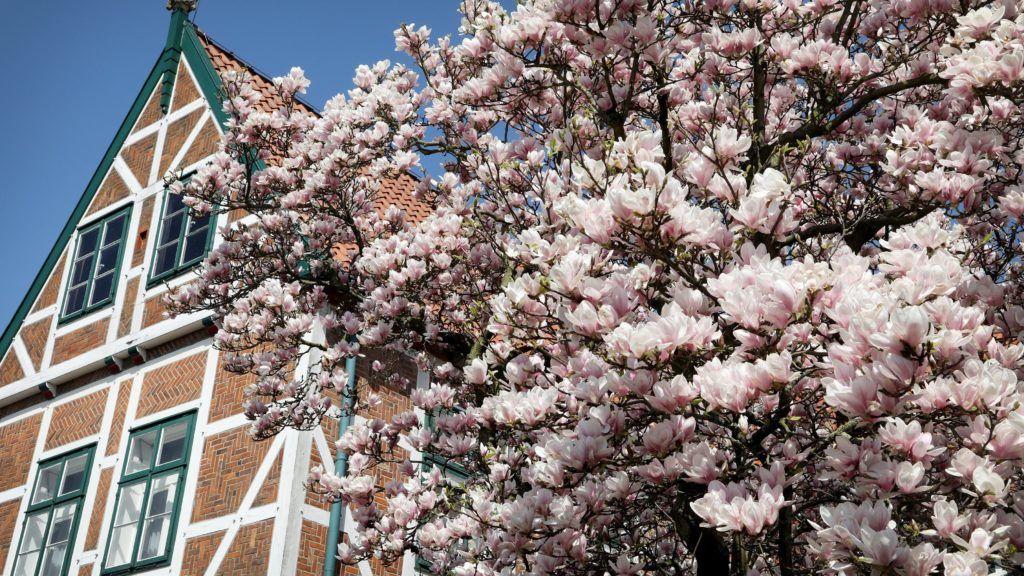 Jork, 2018. április 19. Virágba borult magnóliafa (Magnolia grandiflora) a városháza épülete mellett az észak-németországi Jork városban 2018. április 19-én. (MTI/EPA/Focker Strangmann)