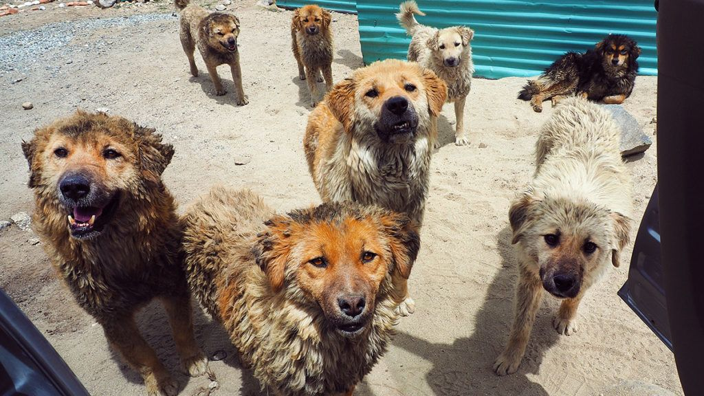 group of homeless dogs looking and requesting to follow you by go inside your car at Leh, Ladakh, India