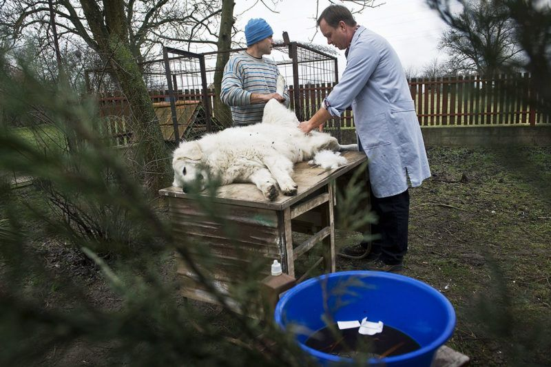 Kecskemét, 2013. március 21. Szappanos Albert állatorvos (j) egy fiatal kuvaszt ivartalanít 2013. március 13-án. MTI Fotó: Ujvári Sándor