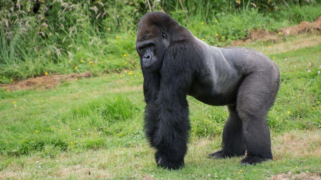 Western Lowland Gorilla in captivity