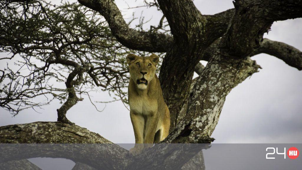 Tizenegy oroszlánt mérgezhettek meg Ugandában
