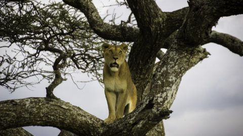 Lioness looks over Serengeti hunting for food