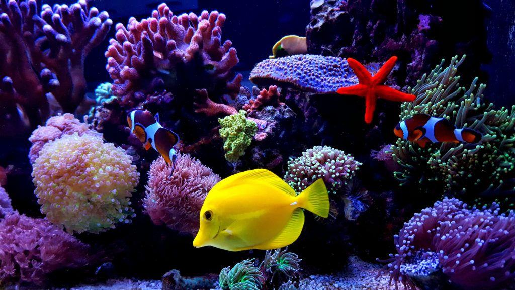 One of the most popular saltwater fish in reef aquarium tanks
