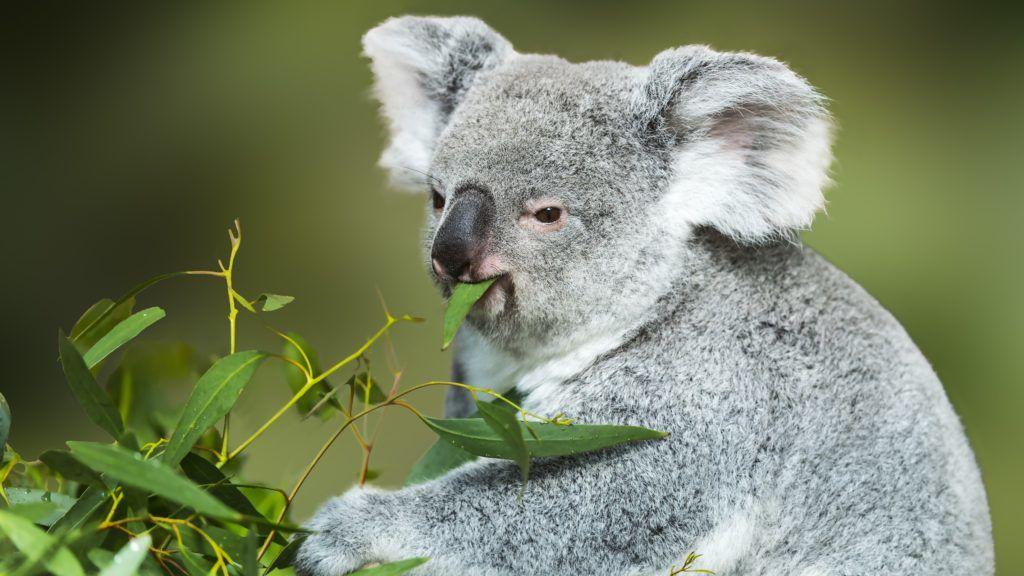 Koala (Phascolarctos cinereus) eating Eucalyptus leaves.    Biosphoto / Jean-Paul Chatagnon