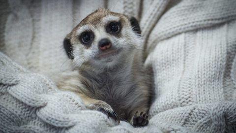 Kecskemét, 2017. február 1. Egy négy hónapos szurikáta (Suricata suricatta) Tokovics Tamás, a Kecskeméti Vadaspark igazgatójánál Kecskeméten 2017. február 1-jén. A kis nõstény állat három hónappal ezelõtt egy hónapos korában érkezett Budapestrõl, miután az anyja nem tudta gondozni. A szurikáta a hideg idõ miatt jelenleg az igazgatói irodában lakik. MTI Fotó: Ujvári Sándor